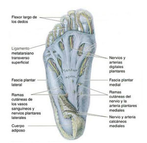 fascia-plantar